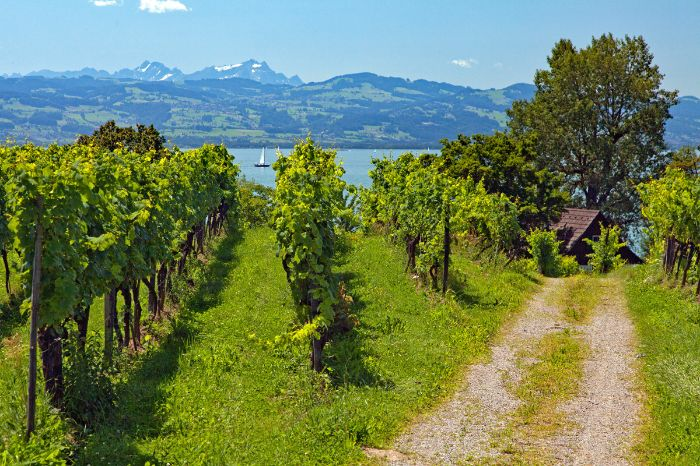Cycle path in the vineyards near Lake Constance